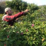 gooseberry island beach roses town farm tonics