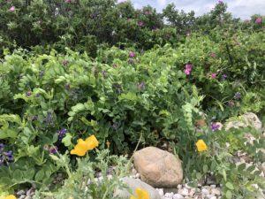 Gooseberry Island Wildflowers