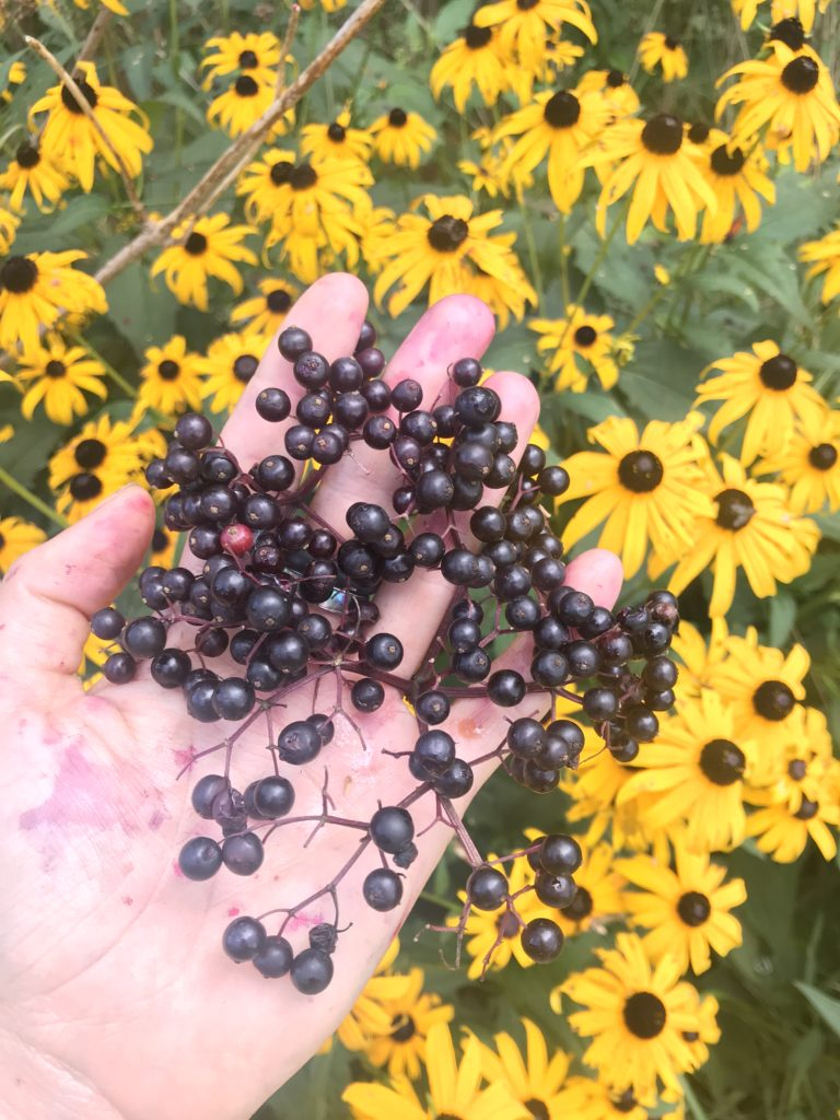 elderberry herbal actions - the science and tradition behind elder - elderberry syrup information