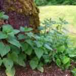 Nettles Urtica Dioica herbal tonic