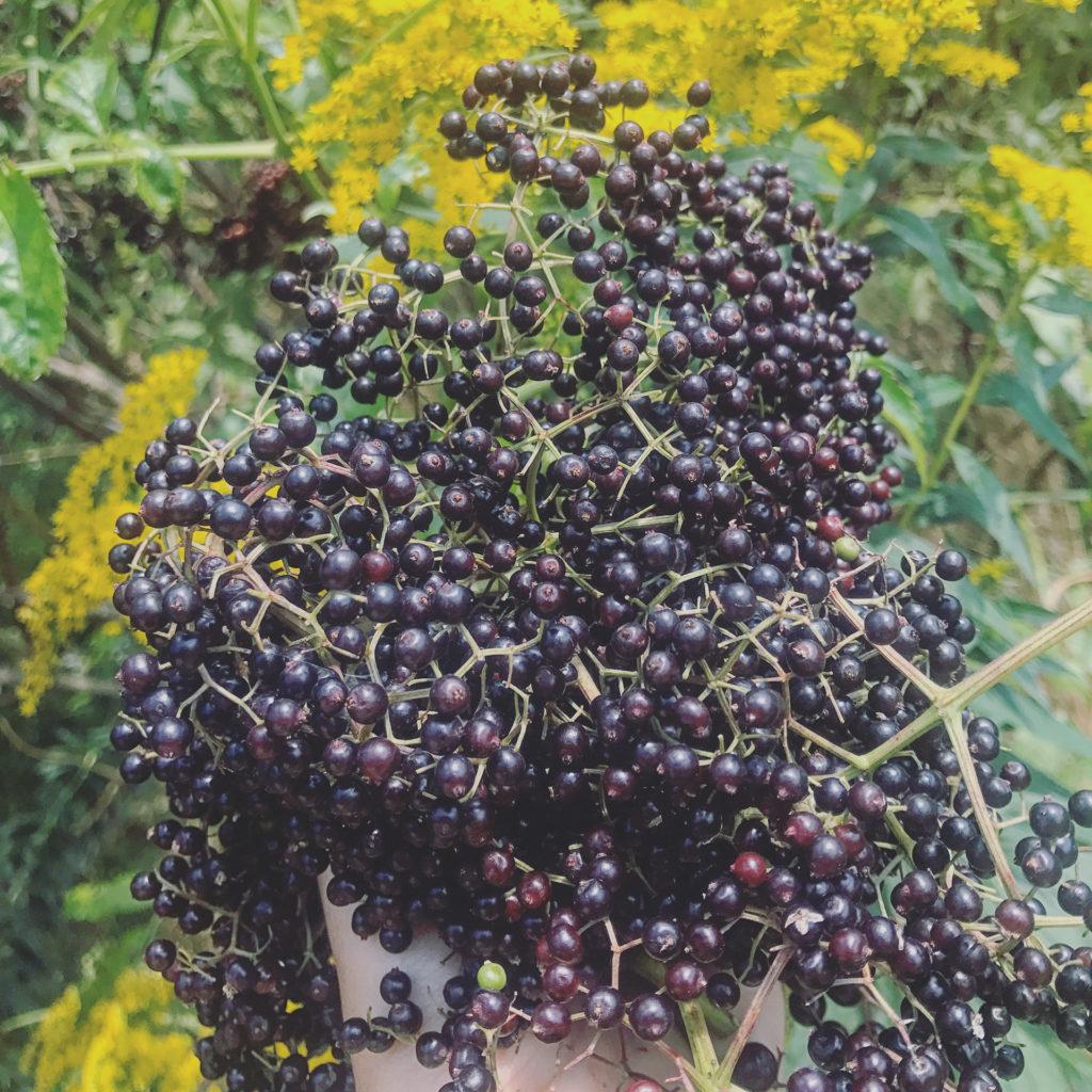 Elder berries for immune support and traditional benefits, elderberry tonic, elder flower tonic, elder flower syrup, natural immune support