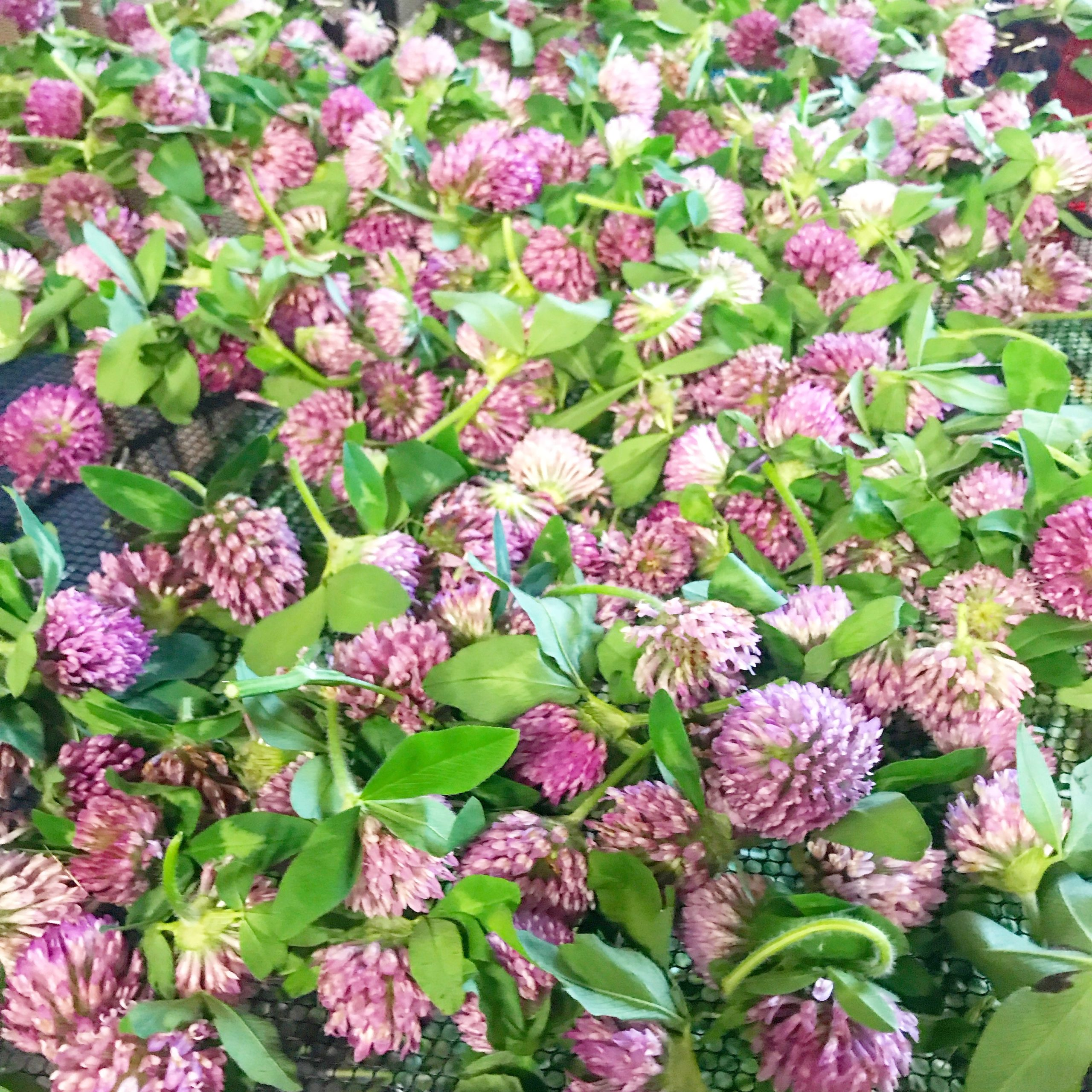 Bunch of Red Clover blossoms