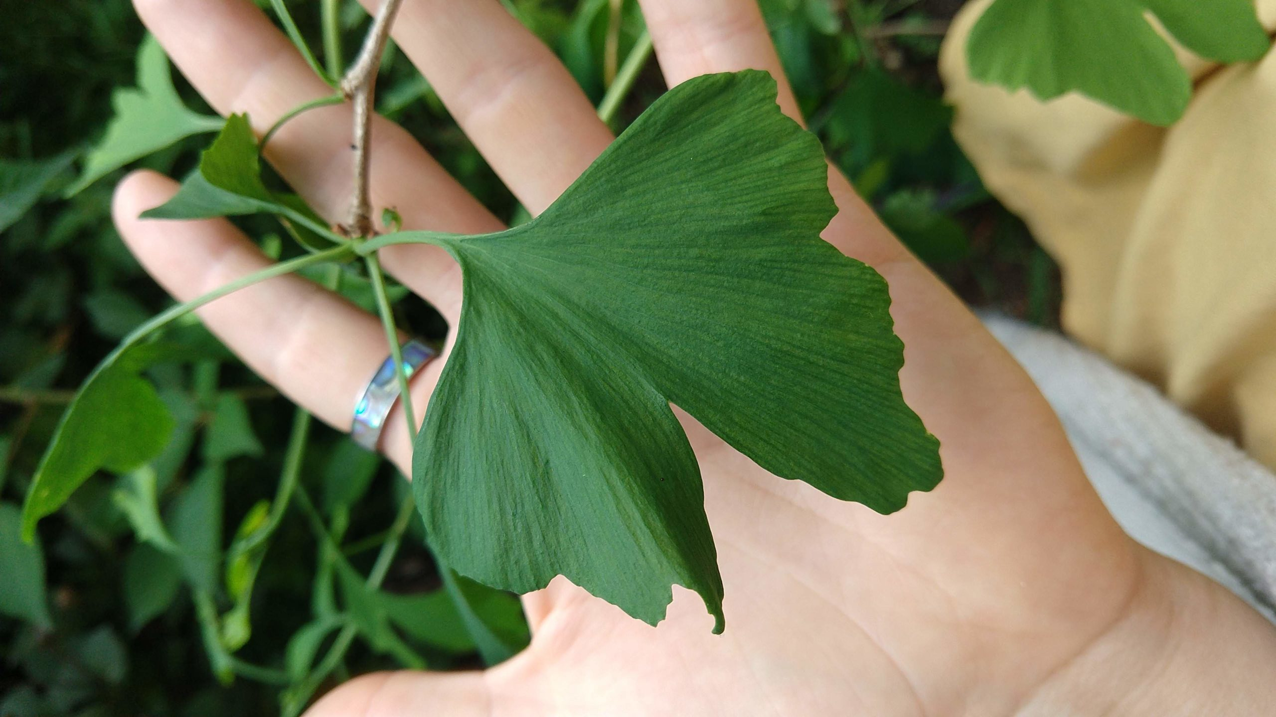 Gingko leaves are best harvested when they begin changing colour from green to yellow in late summer